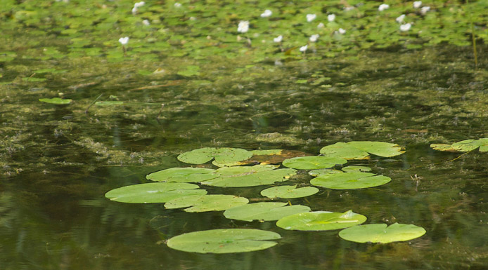 Aquatic water community with water-lilies and European frogbits
